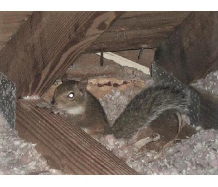 squirrel nesting in the attic of a house